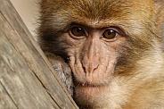 Barbary macaque