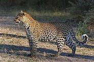 Leopard (Panthera pardus) - Botswana