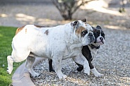 Bulldog showing a young puppy how to play