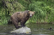 Grizzly Bear Fishing From A Rock