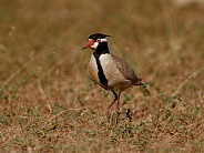 Black headed Plover