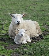 Perandale Sheep