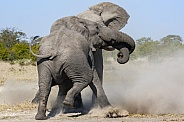 Two African Bull Elephants fighting