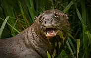 Giant Otter Close Up Face Shot Teeth Showing