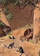 Chacma Baboons and Petroglyphs - Namibia