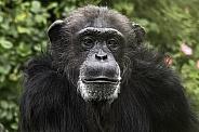 Chimpanzee Face Shot
