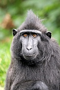 Crested macaque