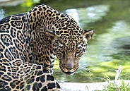 Jaguar looking back from the water hole at the zoo