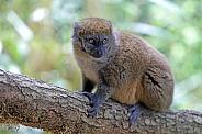 Lac Alaotra bamboo lemur (Hapalemur alaotrensis)