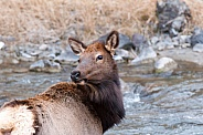 Wild female elk near water