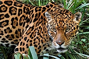 Close up of Jaguar Looking Sideways