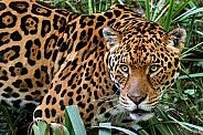 Close up of Jaguar Looking Sideways