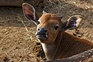 Young Banteng Calf