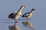 Egyptian Goose - Chobe National Park - Botswana