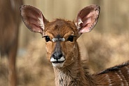 Nyala Antelope Head Shot Ears Out