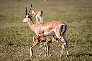 Grant's Gazelle and calf