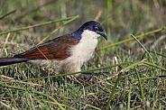 Burchell's Coucal - Botswana