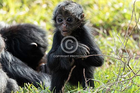 Baby Spider Monkey Sitting In Grass