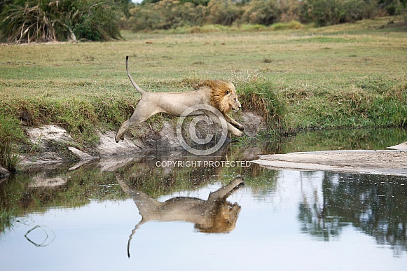 Lion Jumping Over Water