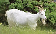 Great Orme Kashmiri Goats
