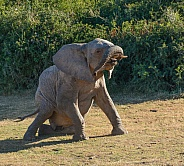 You're doing it wrong.... Young African Elephant