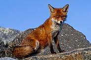A fox on a rock