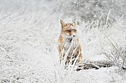 Red fox in a snowstorm