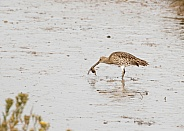 Curlew Catching a Crab