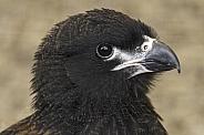Juvenile CaraCara Close Up