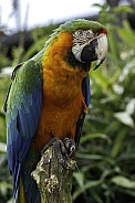 Hybrid Macaw Full Body