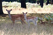 Fallow Deer Doe and Fawn