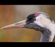 Common Crane Portrait