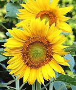 Giant Mammoth Sunflower