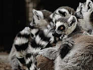 A pile of lemurs