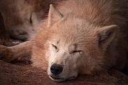 Arctic Wolf Sleeping