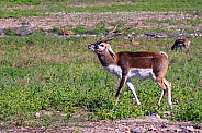 Blackbuck Male