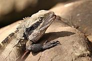 Male Water Dragon