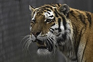 Amur Tiger Head Shot Close Up