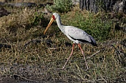 Young Yellow-billed Stork - Okavango Delta - Botswana