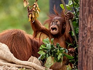 Baby Sumatran Orangutan Mouth Open Reaching For Leaves