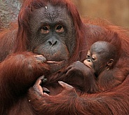 Orangutan Mother and Baby
