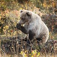 Grizzly Bear at Alaska