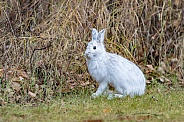Snowshoe Hare in Winter Coat