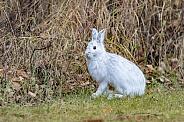 Snowshoe Hare in Winter Coat