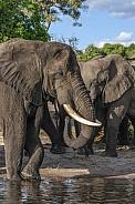 African Elephants (Loxodonta africana) - Botswana