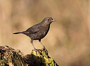 Blackbird (female)
