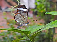 Clearwing or Glasswing Butterfly