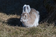 Early Spring Snowshoe Hare in Alaska