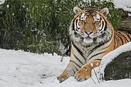 Siberian Tiger(Panthere Tigris Altaica)