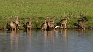 A Group of Greater White-fronted Goose